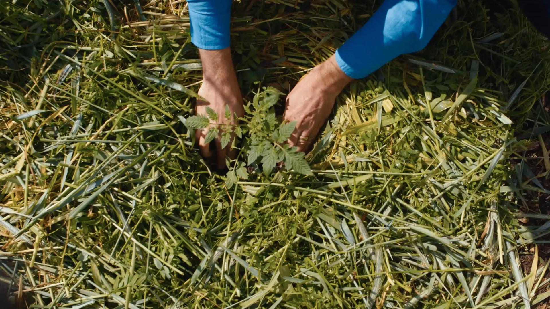 person planting tomato into mulch