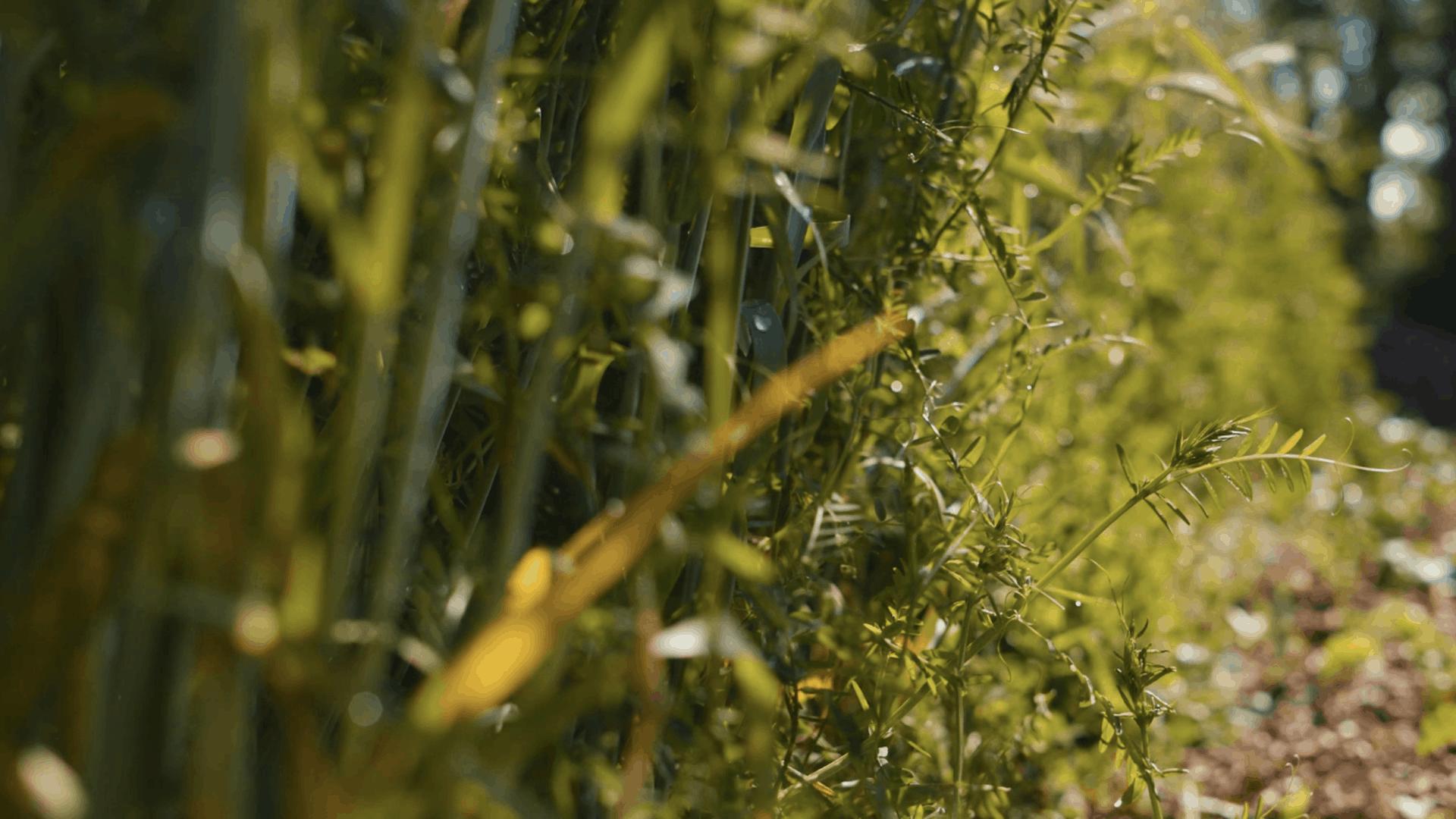 hairy vetch cover crop closeup