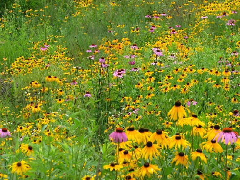 retention pond flowers - black eyed susan and echinacea